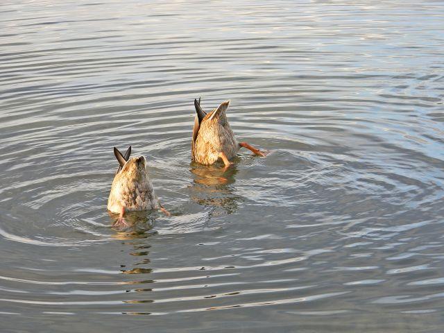 kaczki, krzyżówki, polowanie, woda, jezioro