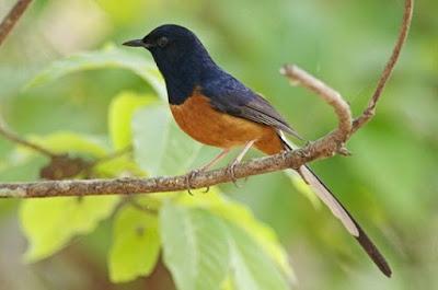 Mengenal Dan Ciri - Ciri Fisik Burung Murai Batu Jambi Paling Lengkap