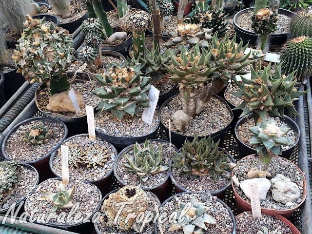 Colección de cactus del género Ariocarpus