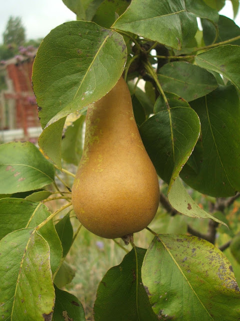 pear growing on our mini fruit trees