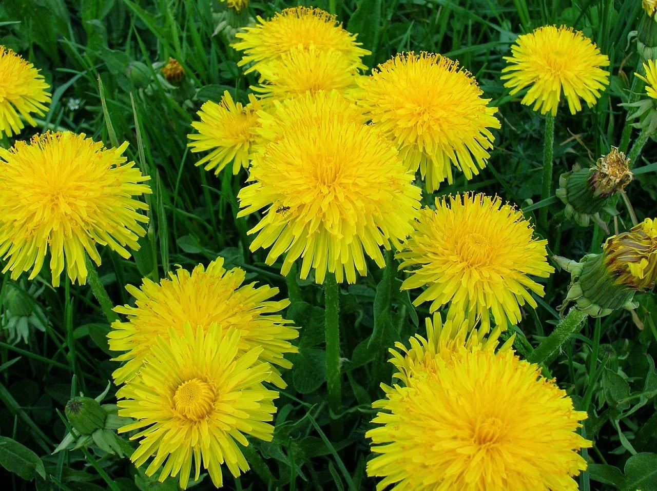Vērtīgās nezāles - savvaļas augi salātos
