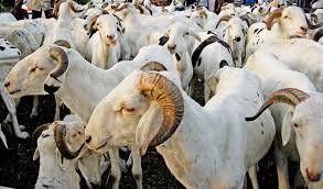 Guinée : Kindia, flambé de prix des bétails au marché à la veille de la fête Aïd El Kebir, appelée fête de Tabaski
