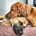 Οι μεγάλοι σε ηλικία σκύλοι μοιάζουν........