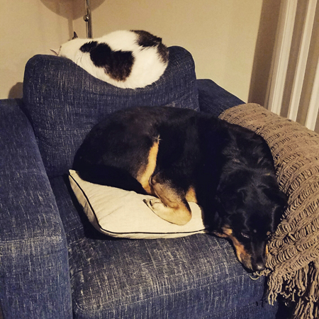 image of Olivia the White Farm Cat sleeping curled up on the top of a blue chair, and Zelda the Black and Tan Mutt resting curled up in the other direction while sitting in the blue chair