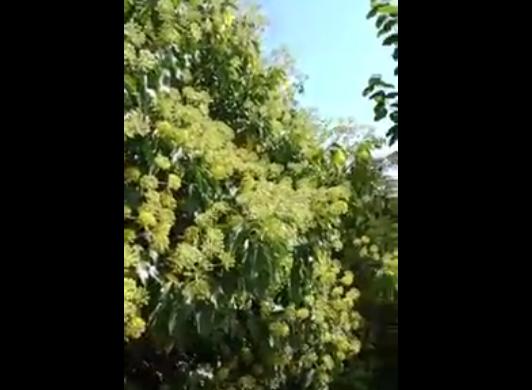 Μέλισσες σε Κισσό VIDEO