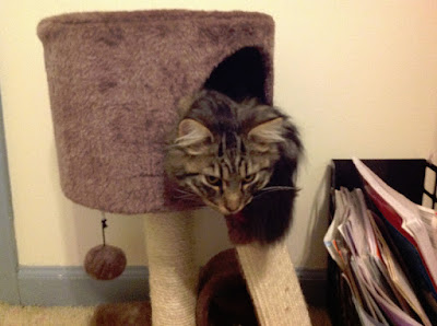 Cute Kitty photos -- kitty in scratching post toy