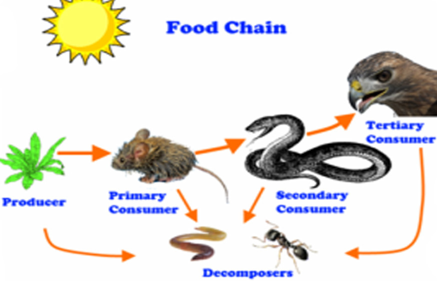 Mouse Food Chain