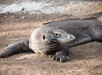 Komodo, Hewan Asli Nusa Tenggara Timur