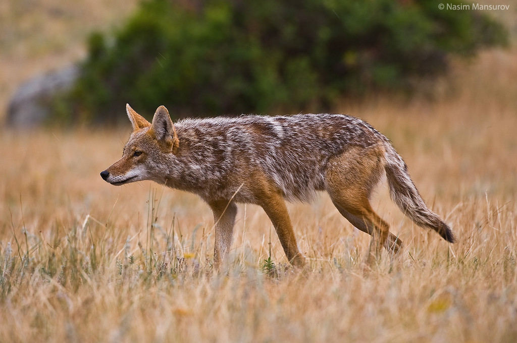 My Background Blog: coyote wallpapers