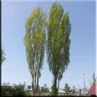 kavak ağacı Pappel Pappel Eigenschaften  тополь тополь свойства  kavak ağacı özellikleri Poplar tree poplar properties
