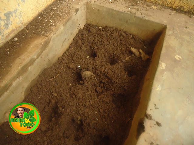 Pembuatan tugalan atau lobang untuk dimasukan biji kangkung darat. Jaraknya sekitar 5-10 cm antar lubang tanam