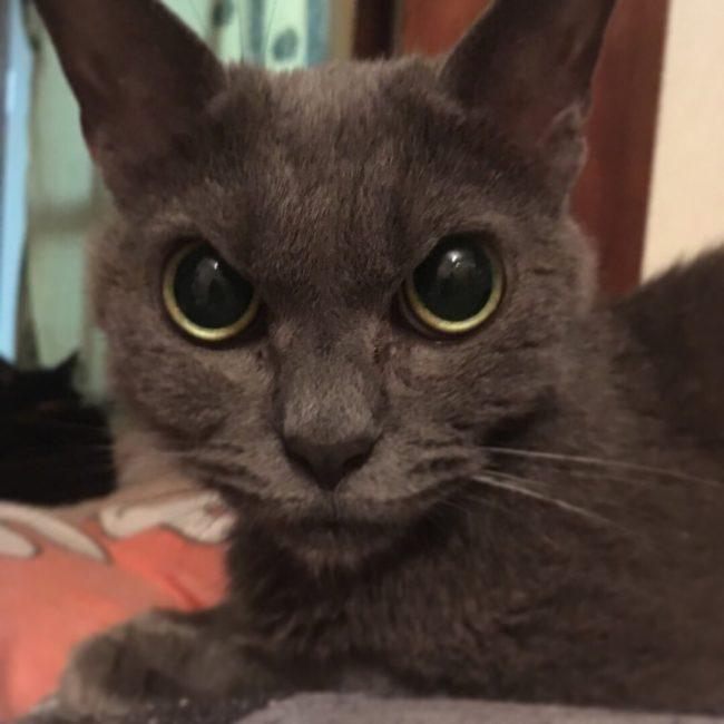 Este gato ficou preso em um abrigo por um ano. Seu rosto expressa totalmente sua raiva.