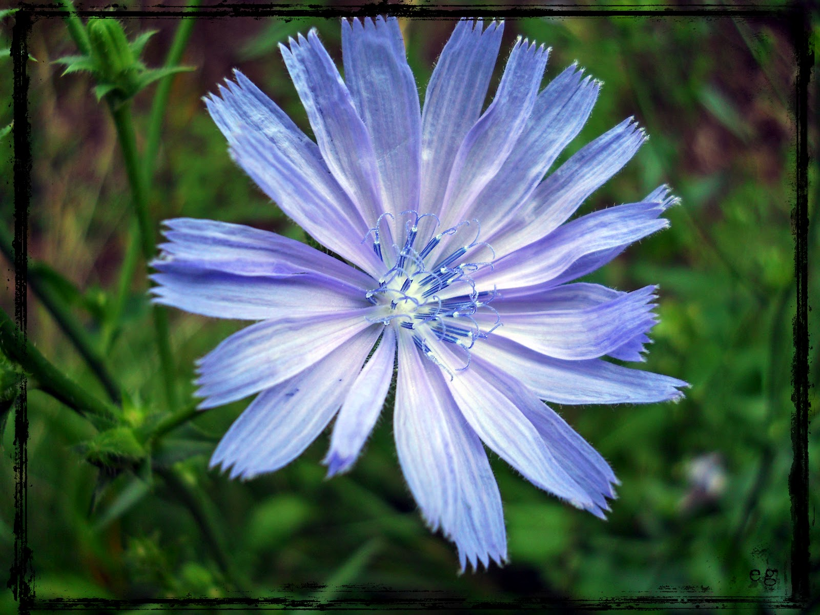 Chicory Wallpaper