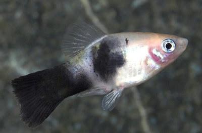 Gambar Ikan Panda Platy