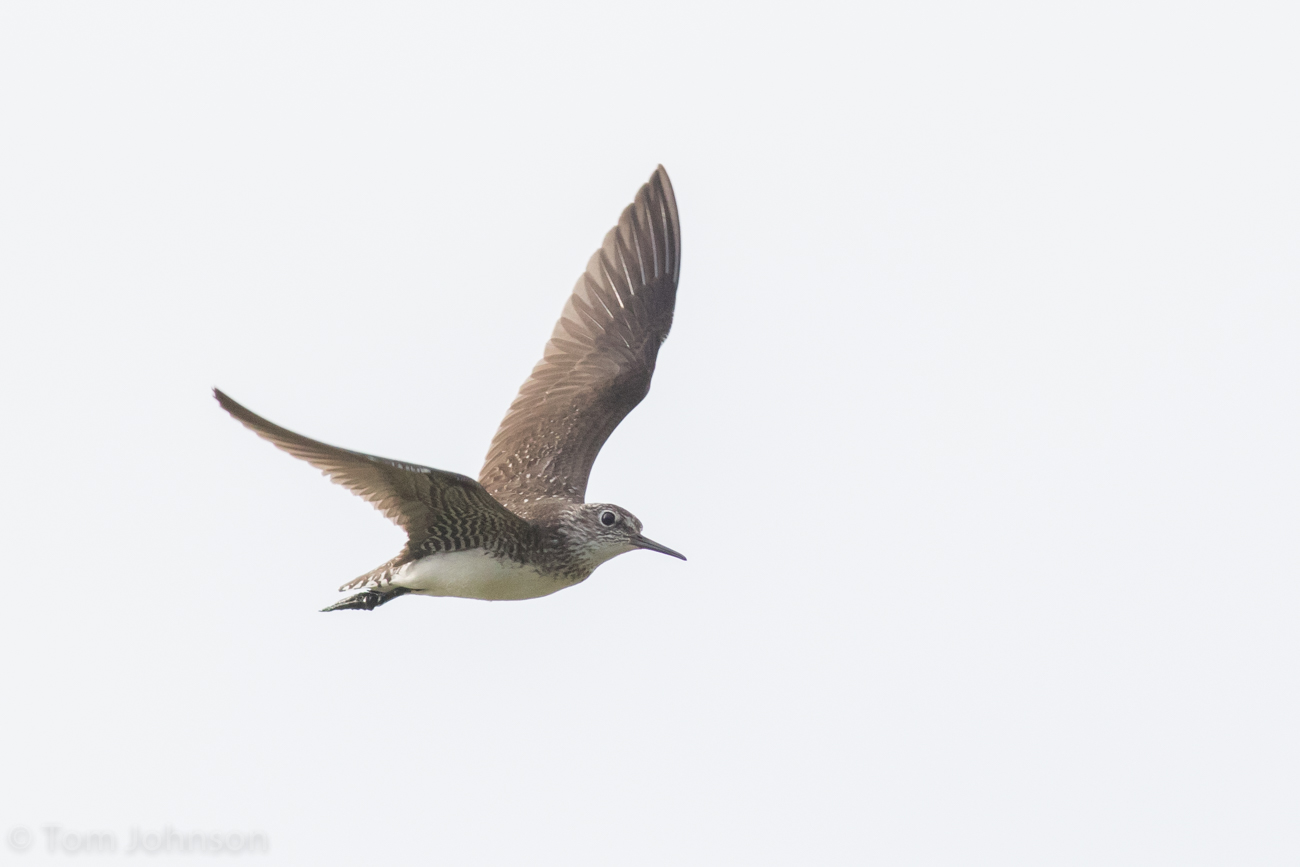 Solitary Sandpiper Flying