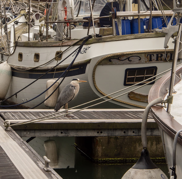 Photo of a heron waiting patiently on a pontoon