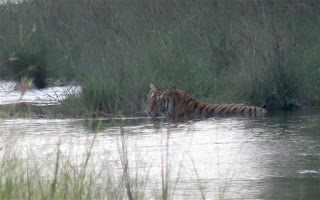tiger, Bardia National Park