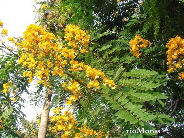 Flores de MUCUTENO: Senna spectabilis