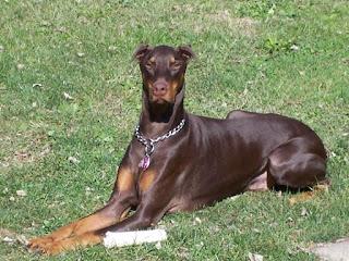 Doberman, bem sucedido como cão de guarda de patrimônios, ele é também um bom animal de companhia, desde que integrado ao lar e a família. O Dobermann tem um temperamento obediente, é vigilante e determinado. É uma raça de cães de origem alemã.