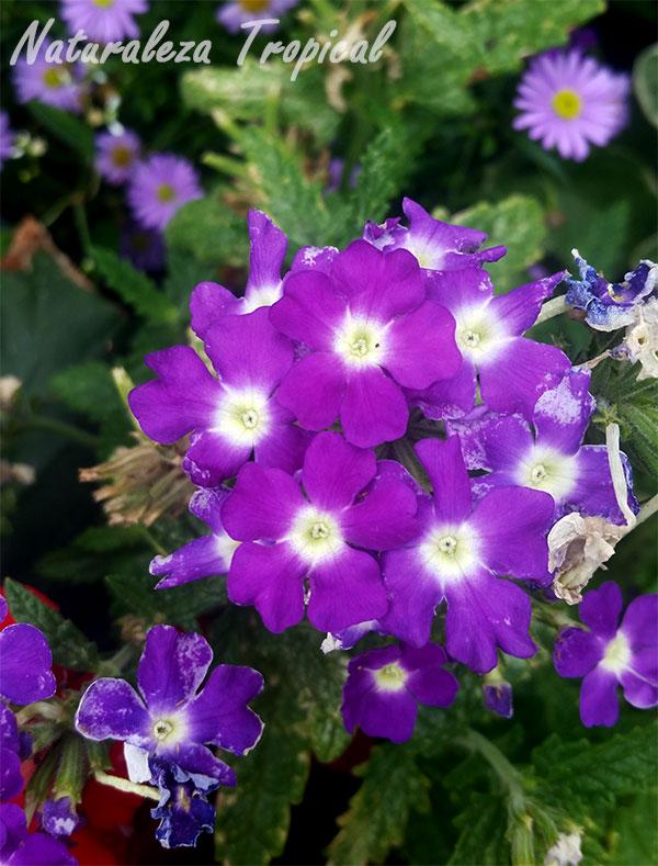 Otro tono de morado en flores de verbenas