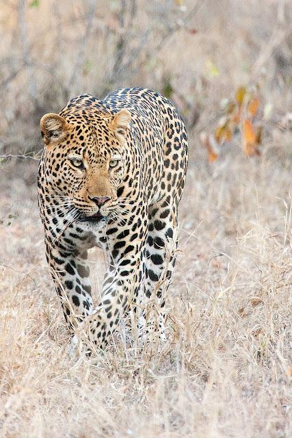 leopardo parco kruger sud africa safari
