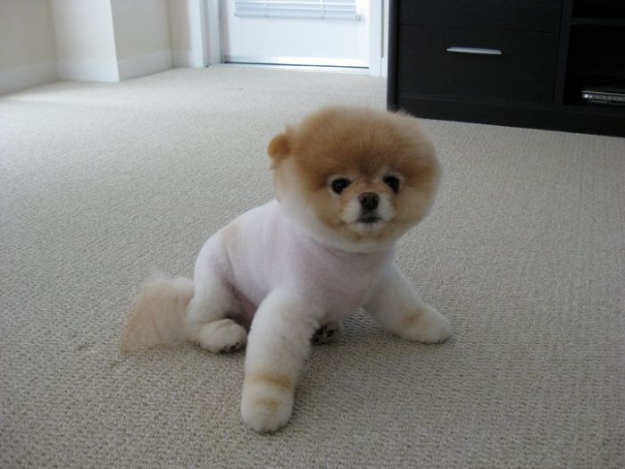 pomeranian boo dogs my funny beautiful pomeranian puppy named boo pictures 6058