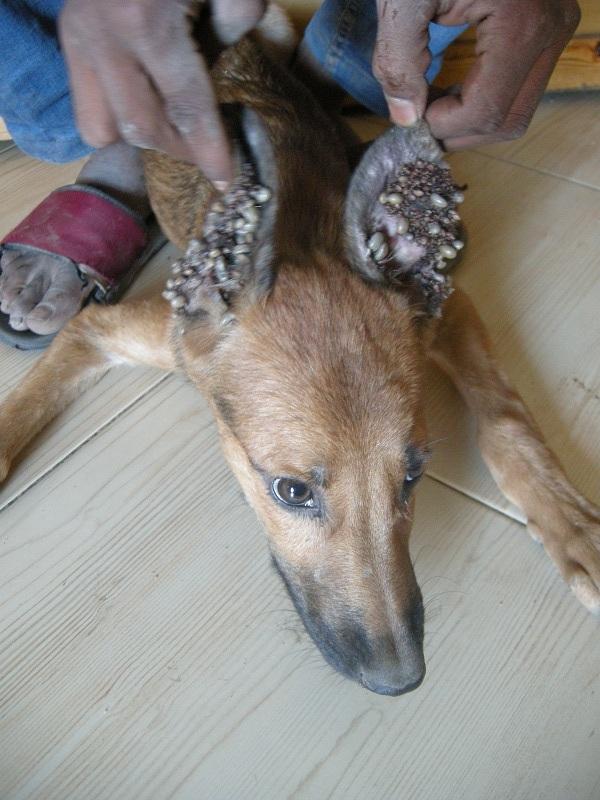 Cute Baby Pig Wallpaper Fleas On Dogs Ears