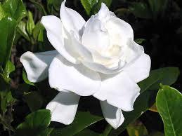 artikel bunga gardenia