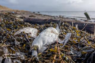 FOTOS:   Muerte masiva de aves marinas preocupa a científicos.