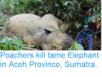 http://sciencythoughts.blogspot.com/2018/06/poachers-kill-tame-elephant-in-aceh.html