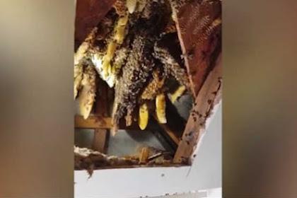 Mengerikan, Sebanyak 22.000 Lebah Disedot dari Loteng
