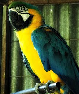 Arara Canindé, Mini Zoológico de Aves - Santiago (RS)