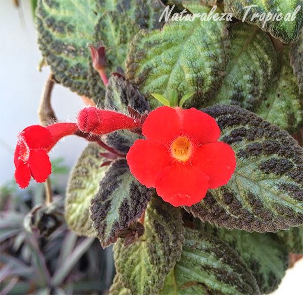 Flor, género Epicia