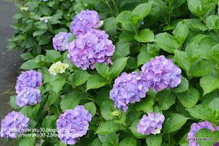 咲き揃う紫のアジサイ写真