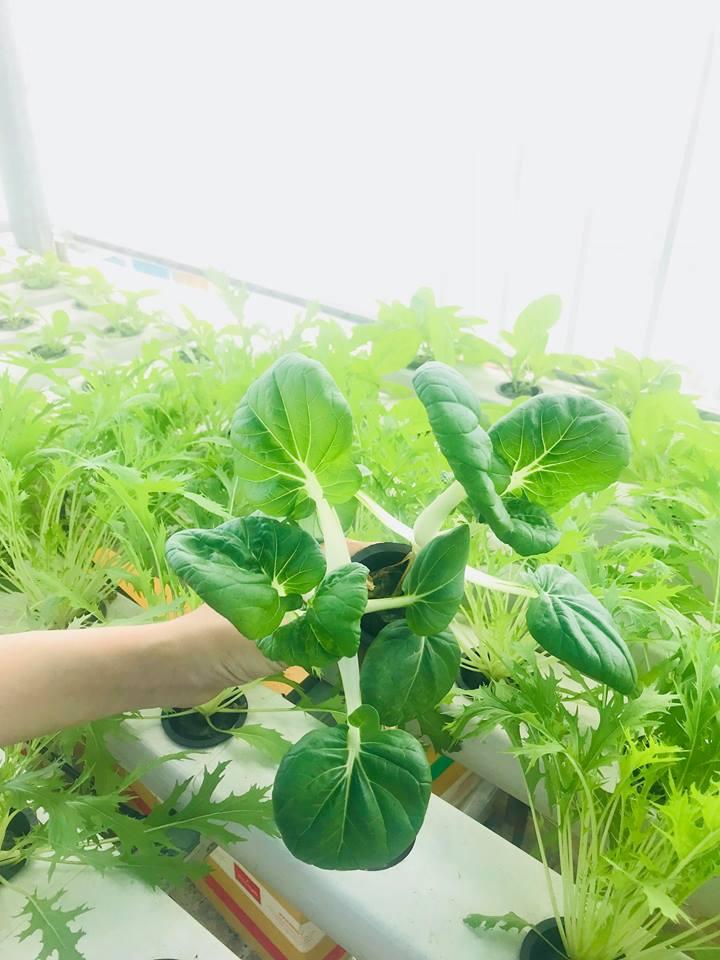 Rau pakuchoi hạt giống được nhập từ Nhật Bản