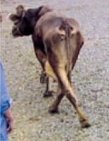 vaca con ataxia y problemas en el andar por tripanosomas