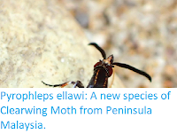 http://sciencythoughts.blogspot.co.uk/2017/08/pyrophleps-ellawi-new-species-of.html