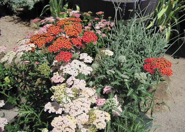 Yarrow is Ideal for Xeriscaping