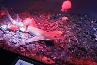 Pristiophorus japonicus