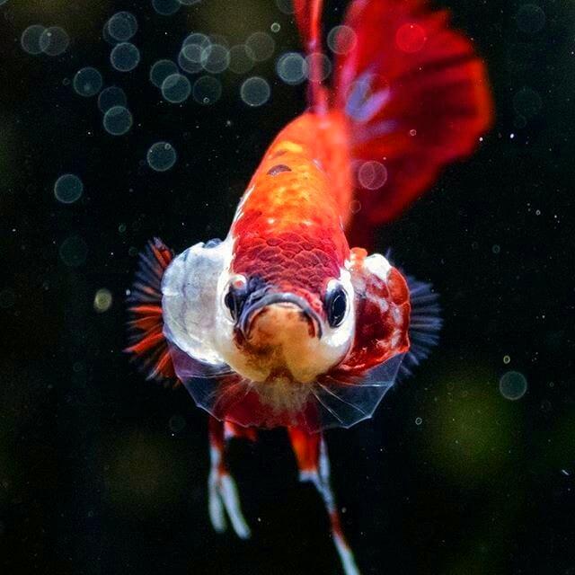 Gambar Logo Ikan Koi