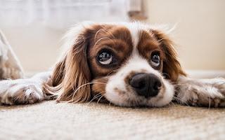 Occhi dolci cane