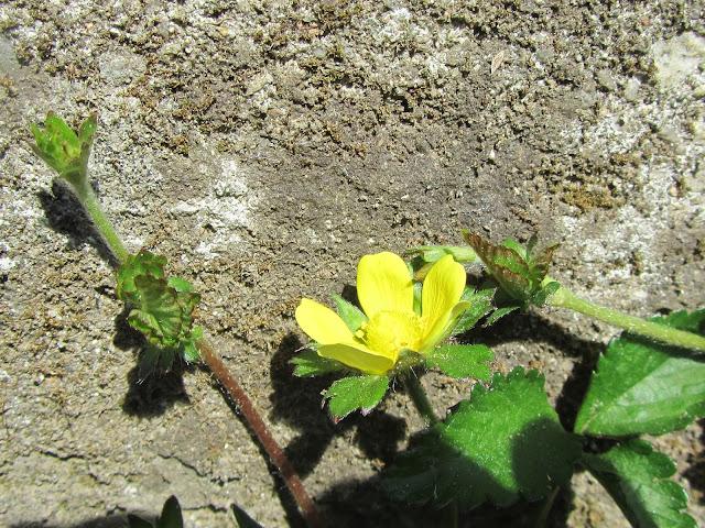 Fiore fragola matta