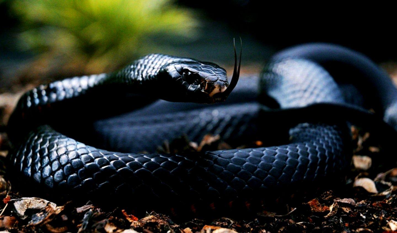 Black Snake Wallpaper Hd Mac Wallpapers