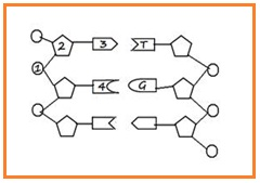 Biologi gonzaga soal biologi substansi genetika dan genetika perhatikan rangkaian dna dibawah ini untuk menjawab nomor 34 dan 35 ccuart Images