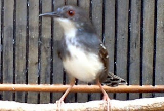 Burung Ciblek - Cara Mudah Membedakan Burung Ciblek Jantan Dan Burung Ciblek Betina  -  Penangkaran Burung Ciblek