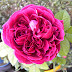 William Shakespeare 2000, ενα αγγλικό τριαντάφυλλο