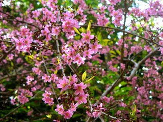 https://tipspetani.blogspot.com/2019/01/menanam-bunga-sakura-dengan-media-pot.html