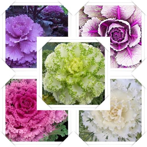 O repolho e a couve ornamentais são utilizados para fins decorativos, de áreas externas e também internas, em vasos, jardins, floreiras, ou onde mais houver luz adequada para a planta.   Nos jardins formam belos arranjos quando em conjuntos com outras plantas, em maciços densos no jardim onde a sua textura diferenciada e suas cores reinam de forma maravilhosa.  É necessário um ambiente bastante iluminado para que as cores da planta ofereça belo espetáculo um visual.