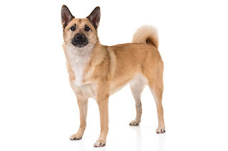 Everything about your Norwegian Buhund