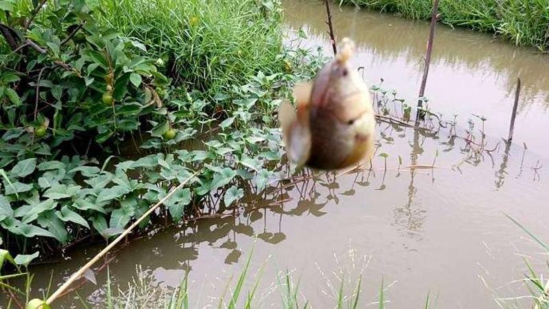 Hướng dẫn làm mồi và kỹ thuật câu cá Rô đồng
